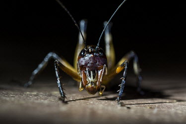 King cricket Madagascar,Animalia,Arthropoda,arthropod,arthropods,Insecta,insects,insect,king cricket,devil cricket,cricket,crickets,Orthoptera,Anostostomatidae,dark,dark background,close up,close-up,shallow focus,