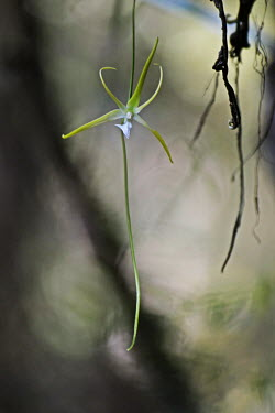 Darwin's orchid Madagascar,plants,plant,Plantae,Tracheophyta,Liliopsida,Orchidales,Orchidaceae,orchid,orchids,flower,flowers,shallow focus,Orchid Family,Monocots,Asparagales,Angraecum,Photosynthetic,Appendix II,Terre
