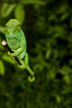 Parson's chameleon Madagascar,reptiles,reptile,chameleon,chameleons,Parson's chameleon,green,climbing,stick,habitat,shallow focus,leaves,side,negative space,Chamaeleonidae,Squamata,Lizards and Snakes,Reptilia,Reptiles,C