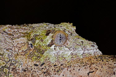 Gecko eye Madagascar,reptiles,reptile,gecko,geckos,camouflage,background matching,unusual,eye,close-up,close up,night