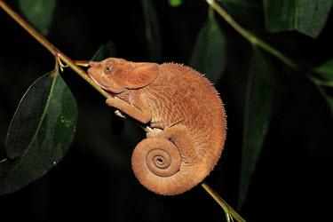 Brown chameleon Madagascar,reptiles,reptile,chameleon,chameleons,Animalia,Chordata,Reptilia,Squamata,Chamaeleonidae,night,flash,spiral,tail,clinging,tree