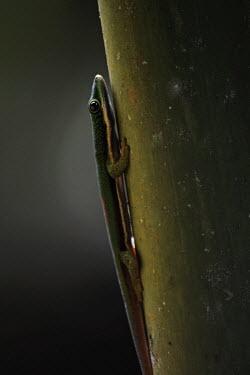 Madagascar day gecko Madagascar,reptiles,reptile,gecko,geckos,Animalia,Chordata,Reptilia,Squamata,Gekkonidae,Phelsuma madagascariensis madagascariensis,Phelsuma,madagascariensis,Phelsuma madagascariensis,Madagascar day ge