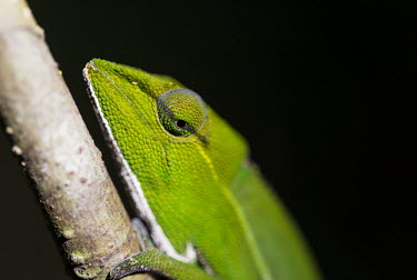Perinet chameleon Madagascar,reptiles,reptile,chameleon,chameleons,Calumma gastrotaenia,Calumma,gastrotaenia,Perinet chameleon,side-striped chameleon,close-up,close up,shallow focus,black background,eye,green,Chamaeleo