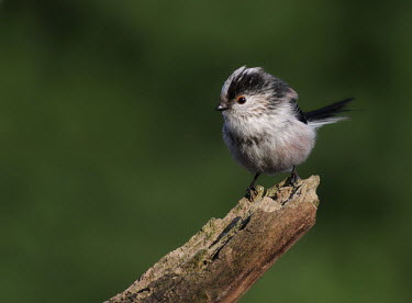 Long-tailed tit Bird,birds,Aves,Passeriformes,Aegithalidae,perched,perching,negative space