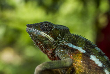 Panther chameleon Madagascar,reptiles,reptile,chameleon,chameleons,Furcifer,pardalis,Furcifer pardalis,panther chameleon,expression,green background,shallow focus,close up,close-up,Squamata,Lizards and Snakes,Reptilia,