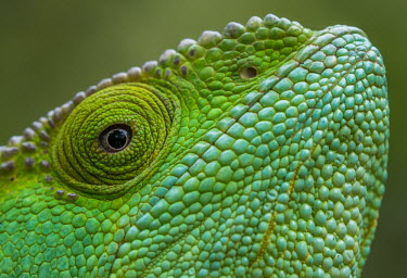 Parson's chameleon Madagascar,reptiles,reptile,chameleon,chameleons,Parson's chameleon,close-up,close up,Parsons giant chameleon,green,face,eye,colourful,colorful,Chamaeleonidae,Squamata,Lizards and Snakes,Reptilia,Rept