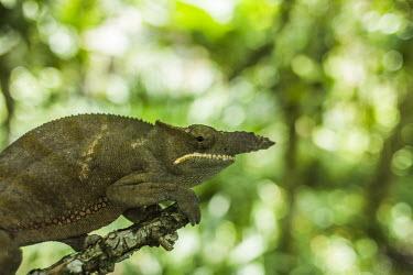Long nosed chameleon Madagascar,Animalia,Chordata,Reptilia,Squamata,Chamaeleonidae,reptiles,reptile,chameleon,chameleons,Furcifer bifidus,Furcifer,bifidus,Least Concern,grumpy,sad face,shallow focus,negative space,sad,clo