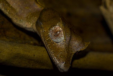 Satanic leaf tailed gecko eye Madagascar,reptiles,reptile,gecko,geckos,Uroplatus phantasticus,Uroplatus,phantasticus,Uroplatus schneideri,Satanic leaf tailed gecko,camouflage,background matching,brown,leaf,shallow focus,unusual,ey