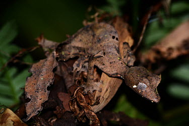 Satanic leaf tailed gecko Madagascar,reptiles,reptile,gecko,geckos,Uroplatus phantasticus,Uroplatus,phantasticus,Uroplatus schneideri,Satanic leaf tailed gecko,camouflage,background matching,brown,leaf,shallow focus,unusual,ey
