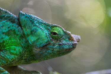 Parson's chameleon Madagascar,reptiles,reptile,chameleon,chameleons,Parson's chameleon,adult,green,adaptive camouflage,camouflage,background matching,shallow focus,texture,eye,close up,close-up,light,lit,lighting,colour