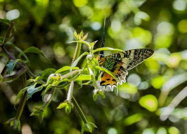 Madagascan sunset moth Madagascar,Animalia,Arthropoda,arthropod,arthropods,Insecta,insect,insects,Lepidoptera,Uraniidae,Uraniinae,Chrysiridia rhipheus,Chrysiridia,rhipheus,colour,colourful,colorful,shallow focus,perched,lea