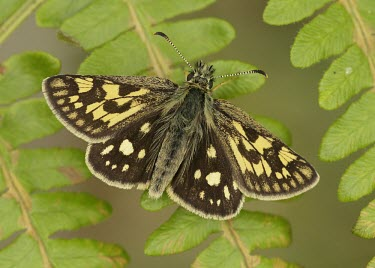 Chequered skipper Butterfly,butterflies,colourful,colour,beautiful,insects,Scotland,UK,United Kingdom,Arthropoda,Arthropods,Insects,Insecta,Lepidoptera,Butterflies, Skippers, Moths,Skippers,Hesperiidae,North America,Ca