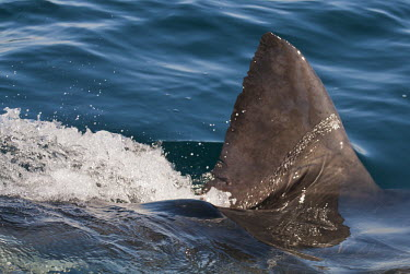 Great white shark fin cutting surface Coastline,False Bay,Horizontal,Marine Protected Area,South Africa,Western Cape,endangered,fin cutting through water,great white shark,marine,photography,shark,shark fin,vertical,Sharks, Rays,Elasmobra