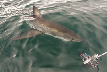 Great white shark investigating camera Coastline,False Bay,Horizontal,Marine Protected Area,South Africa,Western Cape,endangered,great white shark,marine,monitoring,photography,shark,shark diving,tourism,camera,Sharks, Rays,Elasmobranchii,