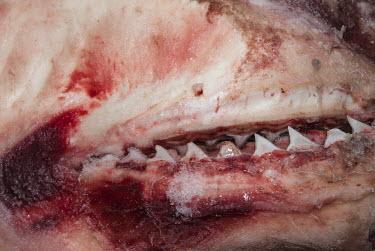 Bull shark jaws at a Malindi tourist market, Malindi, Kenya Coastline,Fish Market,Horizontal,Kenya,Outdoors,africa,african,color image,colour image,day,image,malindi,photo,photography,shark jaws,Cartilaginous Fishes,Chondrichthyes,Chordates,Chordata,Carcharhin