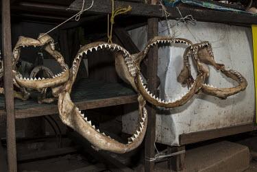 Shark jaws at a Malindi tourist market, Malindi, Kenya Coastline,Fish Market,Horizontal,Kenya,Outdoors,Sharks,africa,african,color image,colour image,day,image,malindi,photo,photography,sharks jaws,street market
