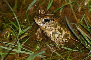 Natterjack toad in water bufonidae,natterjack toad,epidalea calamita,lesrives,lacdesrives,toads,amphibians,amphibian,toad,portrait,Anurans,water,pond,in water,Natterjack toad,Bufo calamita,Chordates,Chordata,Anura,Frogs and T
