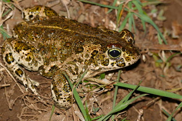 Natterjack toad portrait bufonidae,natterjack toad,epidalea calamita,lesrives,lacdesrives,toads,amphibians,amphibian,toad,portrait,Anurans,Natterjack toad,Bufo calamita,Chordates,Chordata,Anura,Frogs and Toads,Bufonidae,Toads