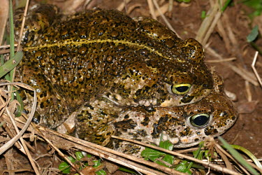 Natterjack toads in amplexus bufonidae,natterjack toad,epidalea calamita,lesrives,lacdesrives,toads,amphibians,amphibian,toad,portrait,Anurans,amplexus,mating,mate,reproduction,reproducing,Natterjack toad,Bufo calamita,Chordates,