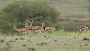 Chinkara herd Indian gazelle,gazelles,Bovidae,bovids,bovid,Cetartiodactyla,mammalia,mammal,mammals