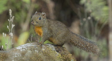 Orange-bellied Himalayan squirrel squirrel,squirrels,Sciuridae,Rodentia,rodents,mammal,mammals,Mammalia