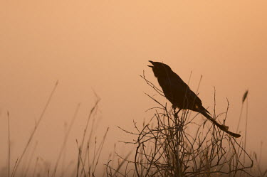 Black drongo calling Birds,bird,Aves,India,Dicruridae,drongos,sunrise,morning,orange,calling,call,vocalising,perching