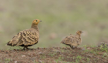 Chestnut-bellied sandgrouse Bird,birds,Aves,grouse,sandgrouse,chick,young,cute,father,male,juvenile,Birds,Chordates,Chordata,Pigeons and Doves,Columbiformes,Ciconiiformes,Herons Ibises Storks and Vultures,Pteroclididae,Sandgrous