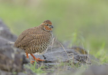 Rock bush quail quail,quails,bird,birds,Aves,Perdicinae,Phasianidae,Galliformes,Old World quail,game,game bird