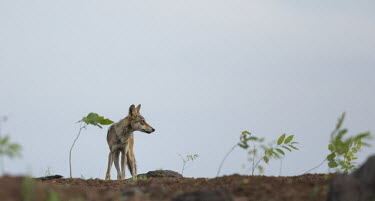 Indian wolf in habitat Canis lupus pallipes,wolves,wolf,dogs,canids,canidae,India,Indian,landscape,subspecies,grey wolf,Indian wolf,wild dogs,Dog, Coyote, Wolf, Fox,Canidae,Chordates,Chordata,Mammalia,Mammals,Carnivores,Car
