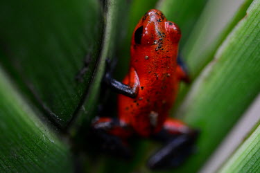 Bluejean poison dart frog strawberry poison frog,strawberry poison-dart frog,Oophaga pumilio,Dendrobates pumilio,Animalia,Chordata,Amphibia,Anura,Dendrobatidae,poison dart frog,frog,frogs,shallow focus,close-up,close up,colour