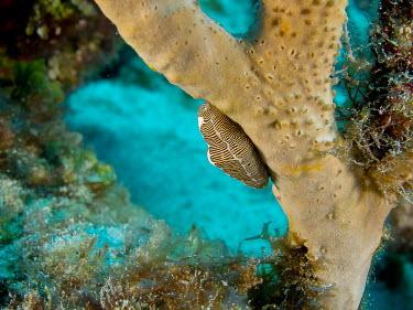 Fingerprint Cyphoma Animalia,mollusca,gastropoda,ovulidae,sea snail,gastropod,mollusc,profile,marine,ocean,reef,molluscs