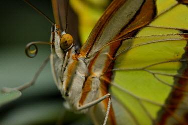 Malachite close up butterfly,invertebrate,insect,insecta,animalia,arthropoda,lepidoptera,nymphalidae,close up,malachite,eye,butterflies,insects