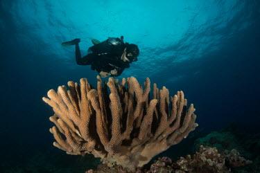 Diver over hard coral Animalia,hard coral,scleractinia,cnidaria,anthozoa,ocean,reef,diver,scuba,scuba diving,Cnidaria,Cnidarians,Marine,Pacific,Favites,CITES,Aquatic,Scleractinia,Indian,Appendix II,Particulate,Anthozoa,IUC