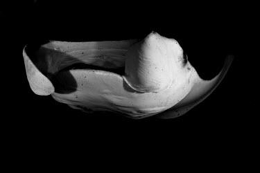 Giant manta ray fish,ray,ocean,close up,black and white,mouth,feeding,vulnerable,vulnerable species,endangered species,marine,reef,pelagic,rays,elasmobranchs,mantas,True rays and Skates,Rajiformes,Cartilaginous Fishe