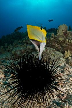 Yellow longnose butterflyfish Animalia,chordata,actinopterygii,perciformes,chaetodontidae,feeding,animal behaviour,sea urchin,reef fish,reef,ocean,fish,butterflyfish,profile