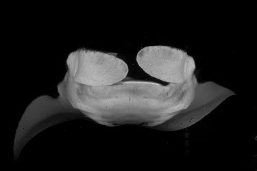 Giant manta ray fish,ray,ocean,close up,black and white,mouth,feeding,vulnerable,vulnerable species,endangered species,marine,reef,pelagic,mantas,elasmobranchs,rays,True rays and Skates,Rajiformes,Cartilaginous Fishe
