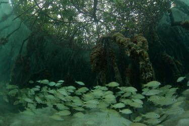 French grunt Animalia,fish,actinopterygii,perciformes,haemulidae,grunt,marine,mangroves,shoal,juvenile,recruitment