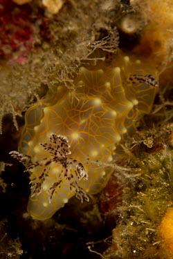 Nudibranch Animalia,invertebrate,mollusca,gastropoda,mollusc,gastropod,sea slugs,sea slug,marine,ocean,reef species,colour,bright,profile