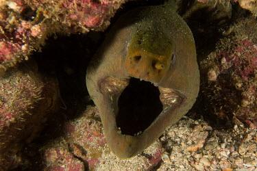 Green moray Animalia,fish,eel,actinopterygii,anguilliformes,muraenidae,teeth,marine,reef fish,reef,head,mouth