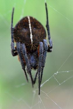 Orb weaving spider Animalia,arthropoda,arthropod,arachnida,arachnid,araneae,araneidae,close up,spider,web,invertebrate,spiders,arachnids