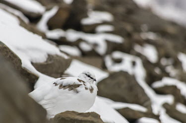 Svalbard rock ptarmigan Arctic,ice,Svalbard,winter,blue,Svalbard rock ptarmigan,rock ptarmigan,Lagopus muta hyperborea,Lagopus muta,Animalia,Chordata,Aves,Galliformes,Phasianidae,shallow focus,negative space,camouflage,snow,