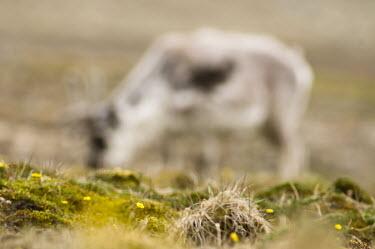 Svalbard reindeer Svalbard,Svalbard reindeer,reindeer,Rangifer tarandus platyrhynchus,Rangifer tarandus,Animalia,Chordata,Mammalia,Cetartiodactyla,Cervidae,Vulnerable,IUCN Red List,feeding,grazing,mammals,Arctic,summer