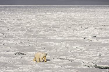 Polar bear Svalbard,Arctic,polar bear,bear,bears,snow,hunting,predator,predatory,sea ice,ice,sea,Chordates,Chordata,Bears,Ursidae,Mammalia,Mammals,Carnivores,Carnivora,Snow and ice,North America,Europe,maritimus