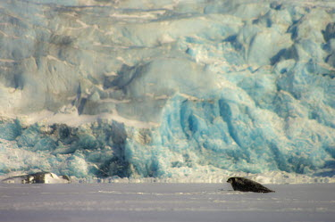 Seal and ice Svalbard,Arctic,ice,blue,glacier,glacial,seal,shallow focus