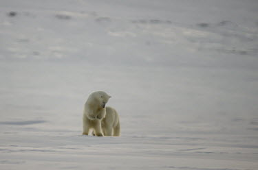 Polar bears Svalbard,Arctic,polar bear,bear,bears,snow,hunting,predator,predatory,pouncing,soft focus,Chordates,Chordata,Bears,Ursidae,Mammalia,Mammals,Carnivores,Carnivora,Snow and ice,North America,Europe,marit