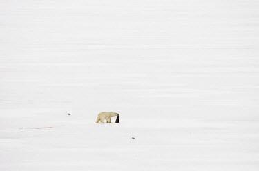Polar bear with carcass Svalbard,Arctic,ice,snow,bears,polar bear,predation,predator,prey,carcass,blood,seagulls,white,negative space,Chordates,Chordata,Bears,Ursidae,Mammalia,Mammals,Carnivores,Carnivora,Snow and ice,North