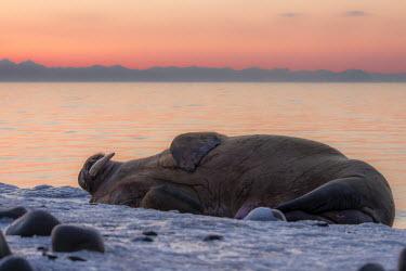 Rest Svalbard,Arctic,wildlife,walrus,sunset,rest,mammal,mammals,tusk,sea,marine,coast,coastal,huge,Carnivores,Carnivora,Chordates,Chordata,Walruses,Odobenidae,Mammalia,Mammals,Ocean,Snow and ice,Atlantic,A