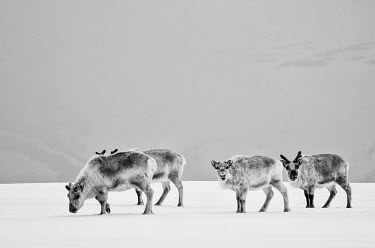 Reindeer Svalbard,Arctic,black and white,b&w,shallow focus,negative space,looking at camera,walking,feeding,grey,thick coat,reindeer,Chordates,Chordata,Cervidae,Deer,Mammalia,Mammals,Herbivorous,Asia,Terrestri