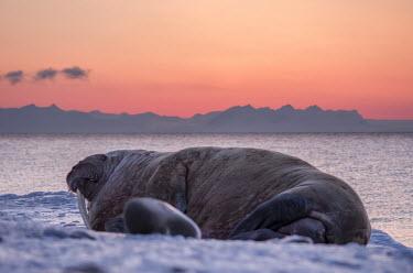 Walrus Svalbard,Arctic,wildlife,walrus,sunset,rest,mammal,mammals,tusk,sea,marine,coast,coastal,huge,Carnivores,Carnivora,Chordates,Chordata,Walruses,Odobenidae,Mammalia,Mammals,Ocean,Snow and ice,Atlantic,A