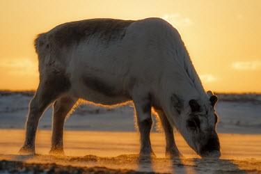 Svalbard reindeer Svalbard,Svalbard reindeer,reindeer,Rangifer tarandus platyrhynchus,Rangifer tarandus,Animalia,Chordata,Mammalia,Cetartiodactyla,Cervidae,Vulnerable,IUCN Red List,light,lighting,dramatic,low light,sun